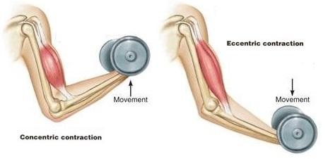Подъем гантели на бицепс - работающие мышцы