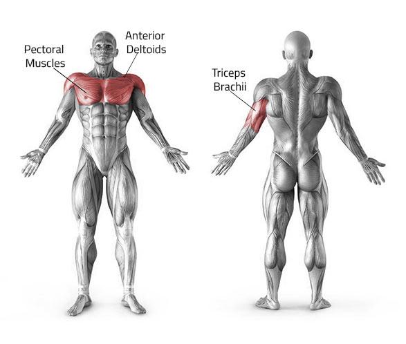 Жим штанги лежа - какие мышцы работают